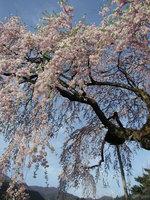 日光桜回遊〜古の桜を眺めよう〜