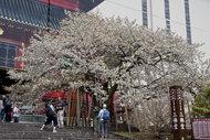 輪王寺の金剛桜