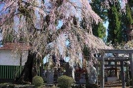 首都圏より少し遅咲きの日光の桜をめぐる