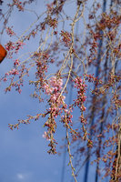 日光の桜が咲き始めました。