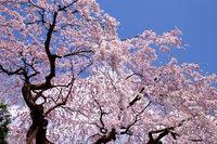 日光市内の桜が見頃です!