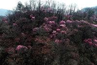 第一いろは坂のアカヤシオ空撮動画をアップしました。