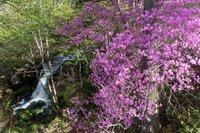 竜頭ノ滝に咲いているトウゴクミツバツツジが見頃を迎えています。