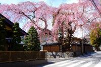 日光市稲荷町にある高田邸のしだれ桜が開花しました。