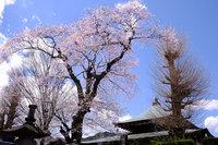 日光桜回遊