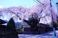 日光市稲荷町にある高田邸のしだれ桜が満開です