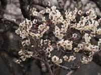 世界遺産エリアでは梅が咲き始めました。