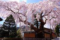 【4/2〜4/28】日光桜回遊開催