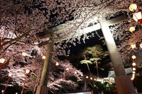 【4/3〜4/11】鬼怒川温泉夜桜ライトアップ2021開催