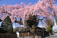 世界遺産エリアの桜が見頃を迎えています。